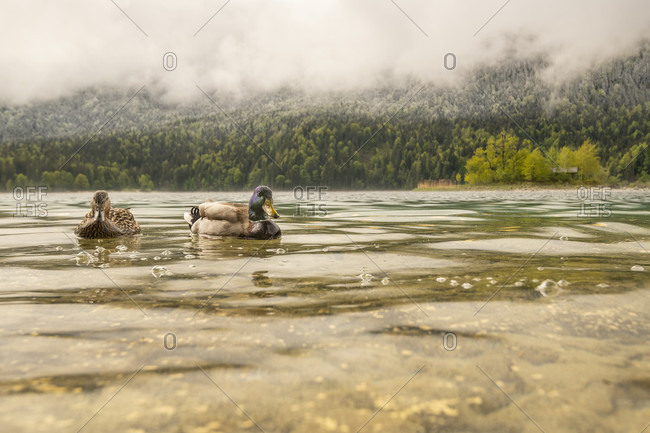 A curious pair of mallards on the banks of the eibsee, in the background one of the islands and snow-covered forest with clouds in spring