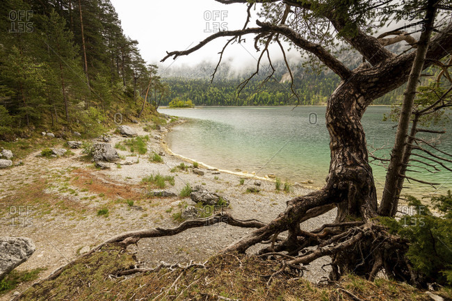 Old pine tree with roots on the banks of the eibsee below the zugspitze in spring.