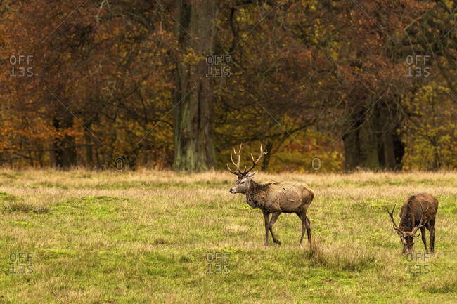Fallow deer (dama dama) in a clearing in autumn