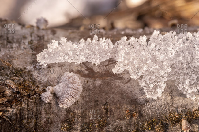 Tree fungi between ice crystals on a log, common split leaf (schizophyllum commune) between snow and ice