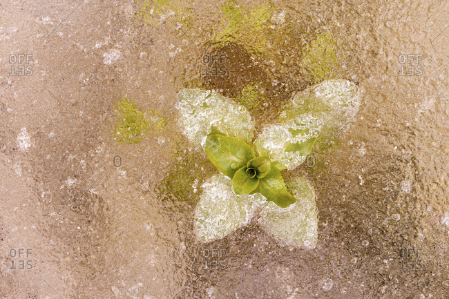 Frozen mint or water mint (mentha aquatica) in the ice of a small stream of the isar