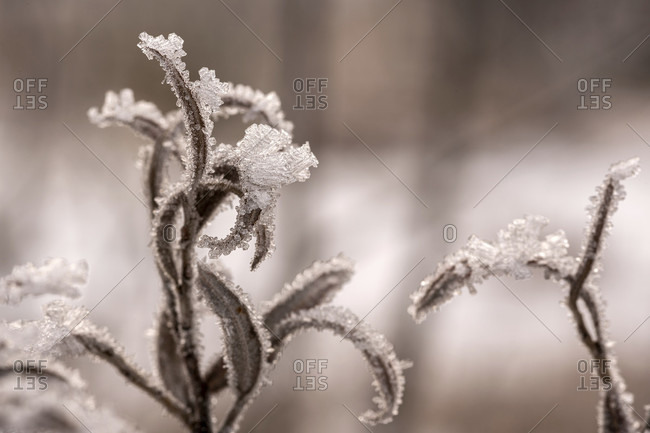 Frozen shoots of a silver willow tree on the banks of the isar in the bavarian prealps