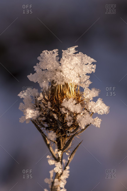 Ice crystals on a frozen thistle flower in the warm evening light