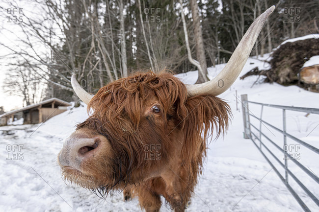 Portrait of a scottish highland cattle at lake walchen in the gate