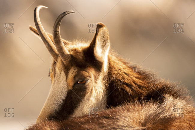 Chamois (rubicapra) in portrait, detailed