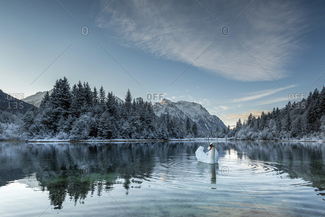 A mute swan on the krun reservoir in the early morning in winter. in the background, snow-covered trees and the snow-covered karwendel mountains