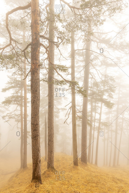 Pine trees in the fog at the Herzog stand. one of munich's local mountains in the ester mountains, the bavarian prealps.