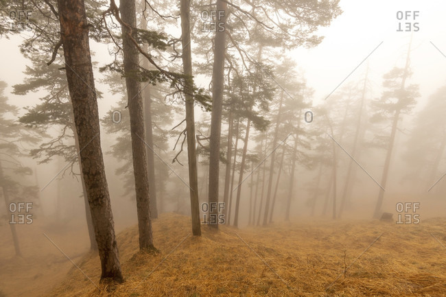 Back light in fog below the Herzog stand in the forest. pine trees stand next to each other on yellow-brown ground on the sloping slope