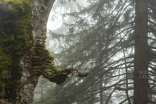 Tree fungi on an old beech tree below the Herzog stand on lake walchensee in the fog