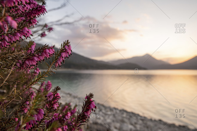 Heather flowers on the banks of the walchensee in golden light in the evening, in the background the simetsberg and the ester mountains