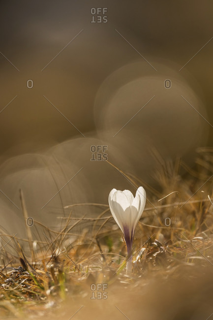 Crocus blossom in the mountains backlit by the sun with reflection