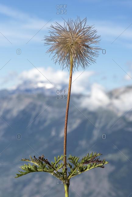 Bald head of the alpine pasque flower (pulsatilla alpina), buttercup family (ranunculaceae), valais, switzerland