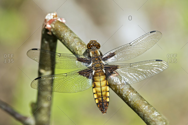 Flat belly (libellula depressa), female, family of the dragonfly (libellulidae), canton of geneva, switzerland