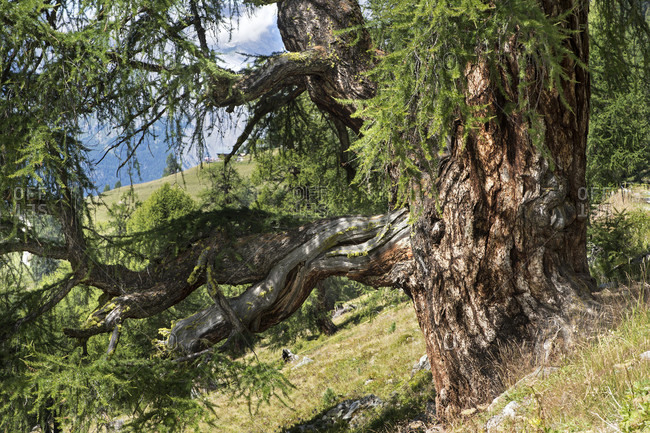 Larch tree on alp balavaux, location of the largest and oldest larches in europe, nendaz, valais, switzerland