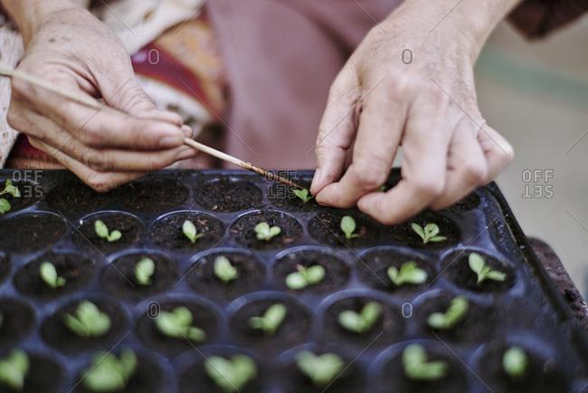 A woman plants small microgreens at an organic farm in Luang Prabang, Laos