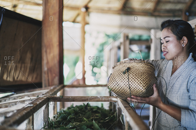 Luang Prabang, Laos - December 19, 2020: A young woman feeds mulberry leaves to silk worms at Mekong Villas