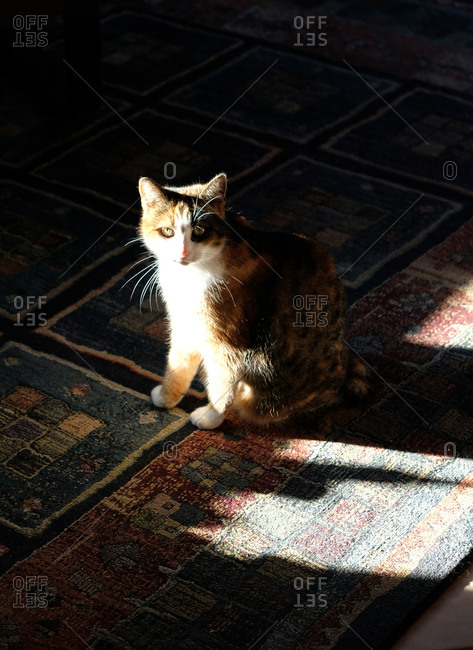 Cat sitting on rug in the sunlight