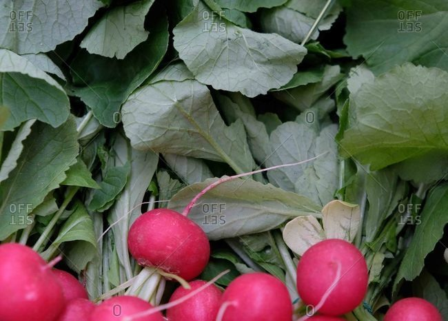 Close up of fresh pink radishes and leaves