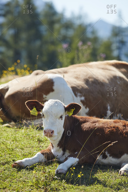 September 3, 2019: Alpine cows in St Johann, Alpendorf, Austria