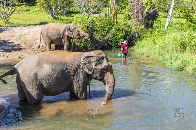 November 16, 2019: Asian elephant at the elephant sanctuary in Chiang Mai, Thailand