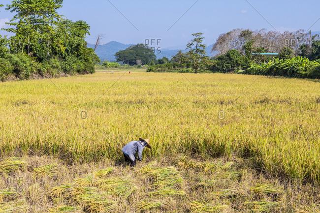 Farmer harvesting rice in Thailand