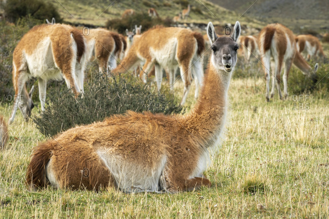 A herd of guanacos grazing in Chile
