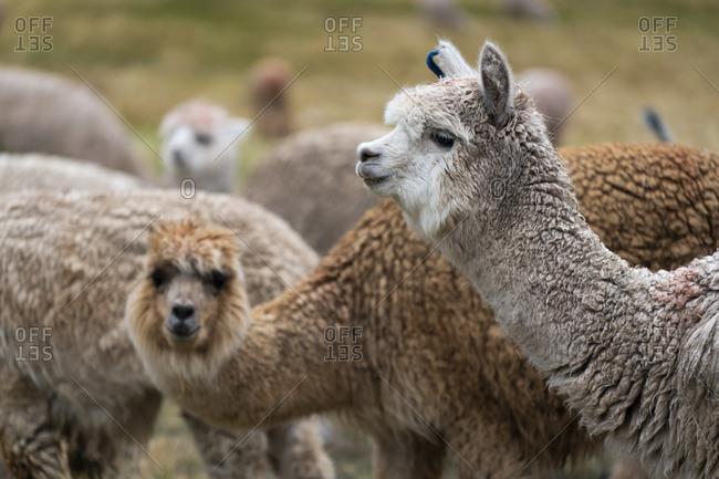 Llamas (Lama glama) in Peru, Cuzco