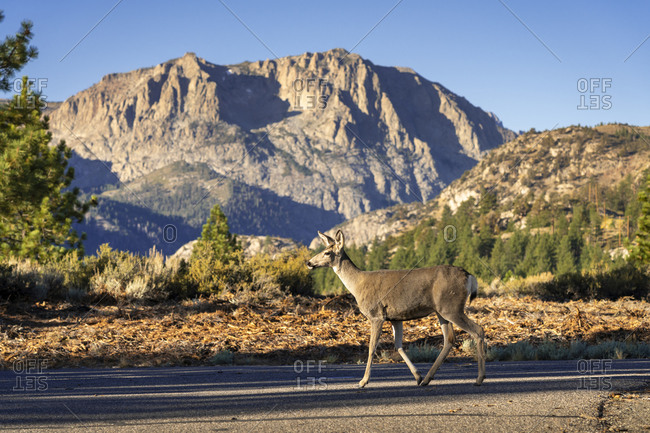 White-tailed deer (Odocoileus virginianus) walking on a road against the mountains of Sierra Nevada