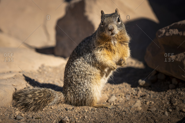 United States, Arizona, Grand Canyon National Park, Chipmunk