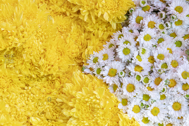 Detail of a bunch of chrysanthemum flowers in blossom