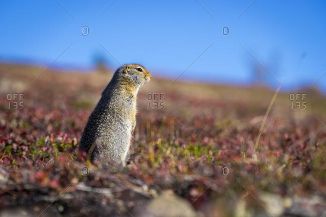 Hoary marmot (Marmota caligata) in Alaska