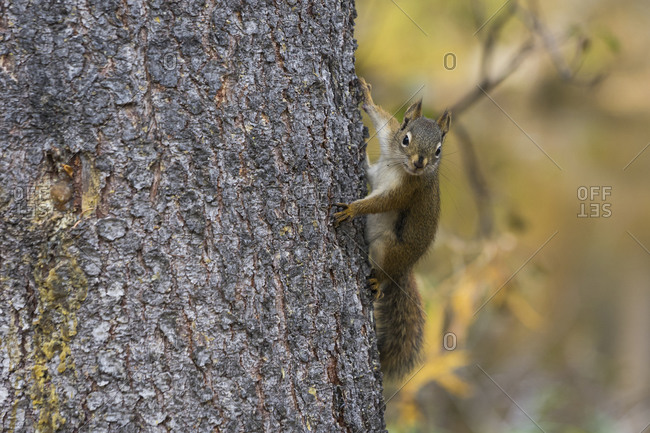 American red squirrel (Tamiasciurus hudsonicus) on a tree