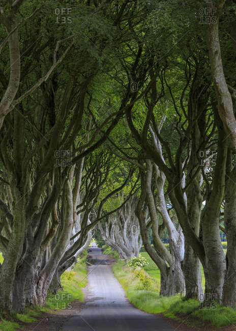 View of the Dark Hedges, a country road surrounded by spooky beech trees
