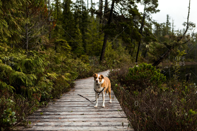 Dog walking on a boardwalk trail surrounded by trees