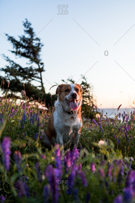 Dog on a coastline adventure, surrounded by wildflowers