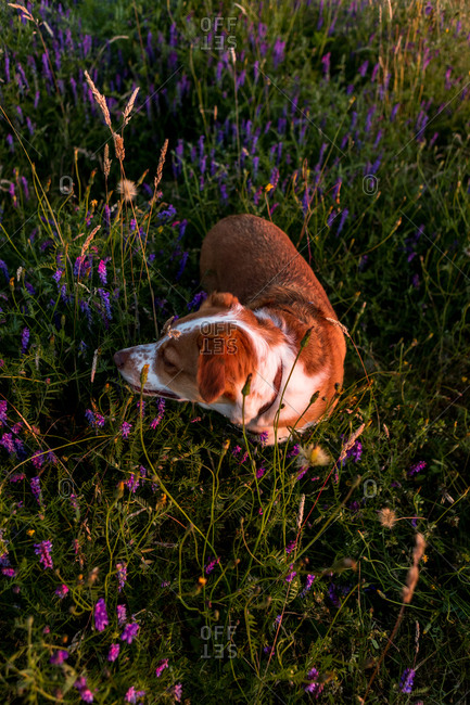 Dog smelling flowers in the spring