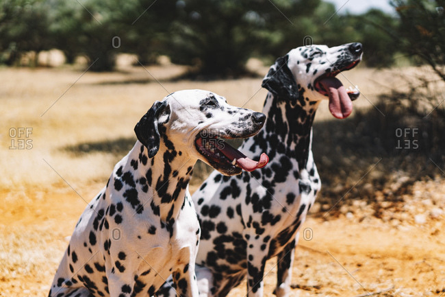 Dalmatian dogs sticking out tongue while sitting on field during sunny day
