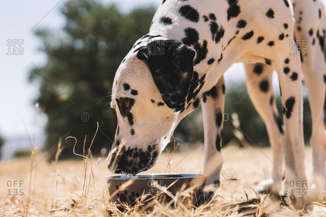 Dalmatian dog drinking water from bowl on field