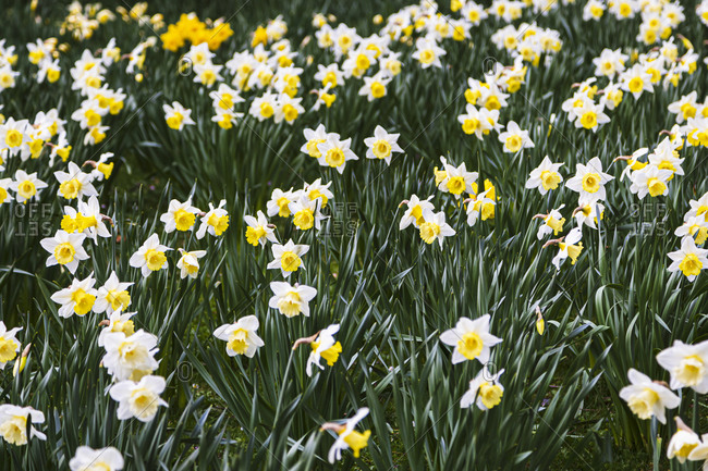 Field of white and yellow daffodils