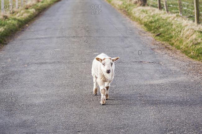 Lamb walking on country road