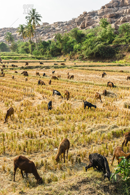 Flock of sheep herding on field seen at Hampi- Karnataka- India