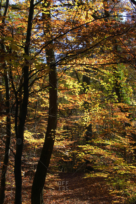 Yellow forest in autumn on a sunny day
