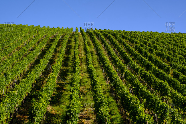Rows of vines in vineyard
