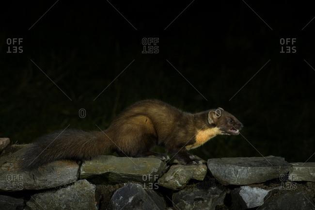 Pine marten (Martes martes) on rocks at night
