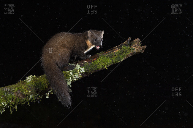 Pine marten (Martes martes) on moss covered branch at night