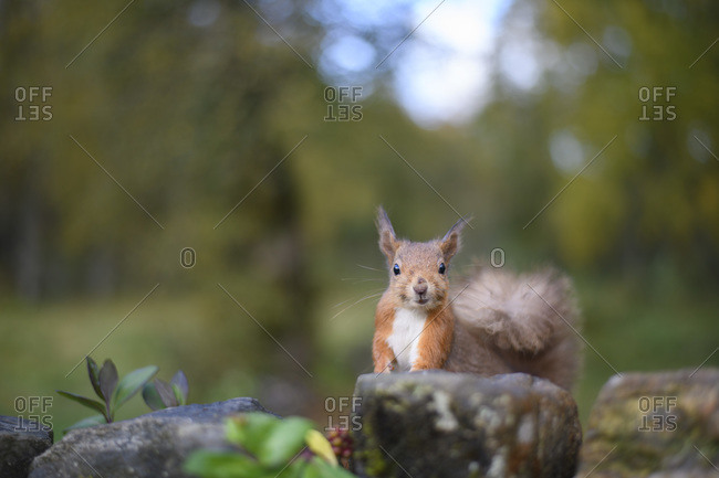Portrait of Eurasian red squirrel sitting on rock