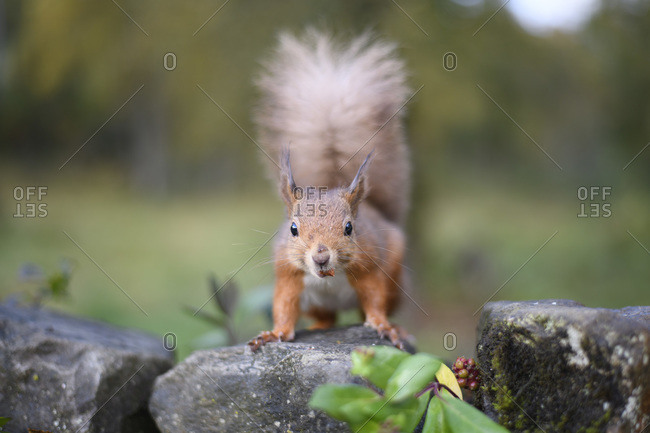 Portrait of Eurasian red squirrel on rock