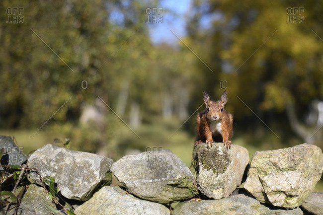Portrait of Eurasian red squirrel on rock during sunny day