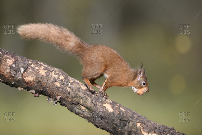 Close-up of squirrel with nut walking on branch