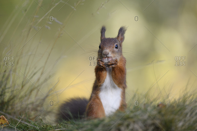Close-up of red squirrel eating nut on plant